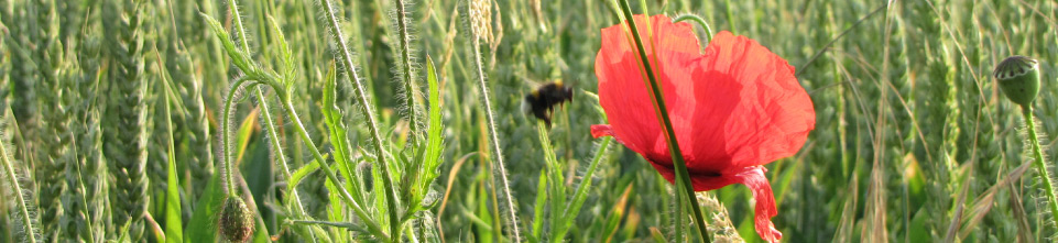 bee-and-poppy.jpg